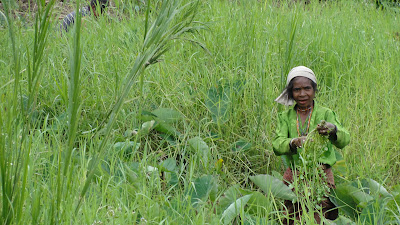 Women harvesting in Timor Leste