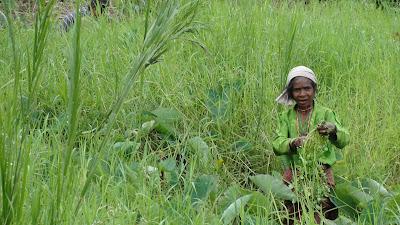 Women harvesting in Timor Leste